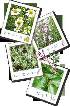 香草カラー原料植物